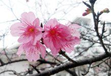 Hình ảnh mùa hoa anh đào Nhật Bản